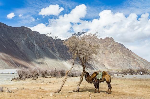 Un cammello che cammina su una duna di sabbia nel distretto di leh di jammu e kashmir, in india. Foto Premium