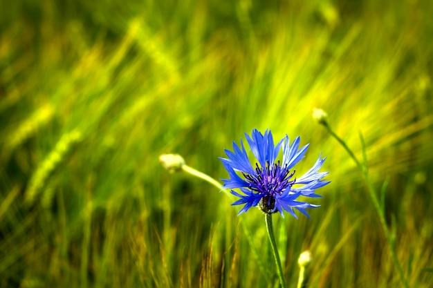 Un campo con fiordalisi e altri fiori selvatici. Foto Premium