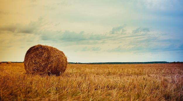 Un campo con pile. covoni di fieno sul campo. scorte di fieno per l'inverno. mangimi per bovini Foto Premium