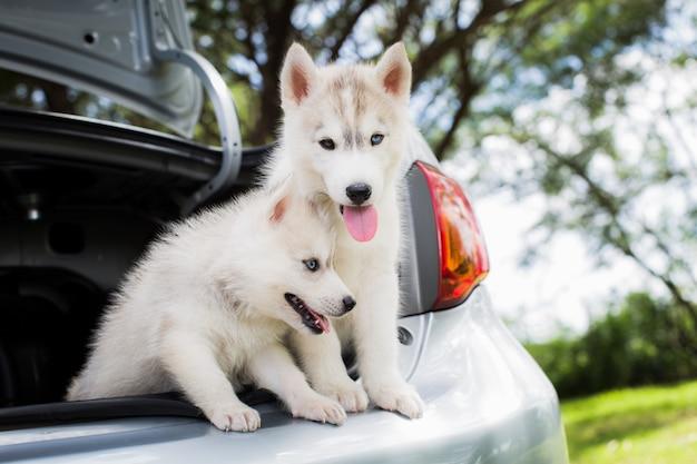 Un cane di due husky siberiano che si siede nell'automobile Foto Premium