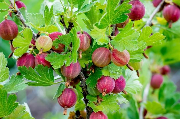 Un cespuglio di uva spina con bacche mature. ramo di uva spina con bacche rosse Foto Premium