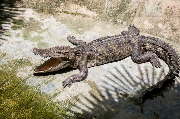 Un coccodrillo si crogiola a terra all'ombra dei palmi aprendo il buco Foto Premium