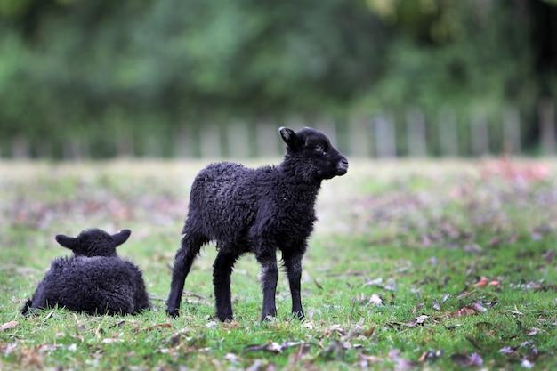 Un colpo orizzontale di due piccoli agnelli neri coperti in lana spessa nel parco di cornovaglia, nuova zelanda Foto Gratuite