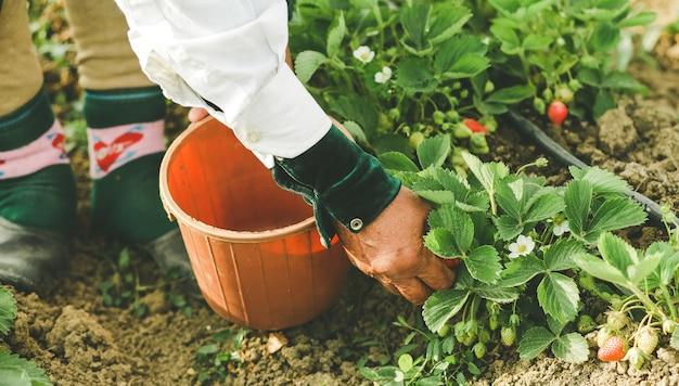 Un contadino che nutre e raccoglie fragole nella piantagione Foto Gratuite