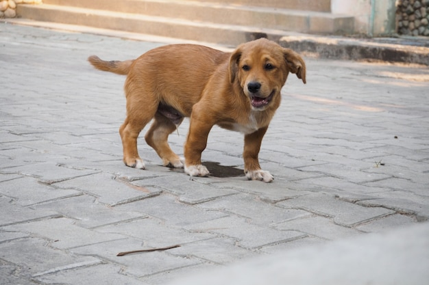 Un cucciolo che urina a terra nella sua casa. Foto Premium