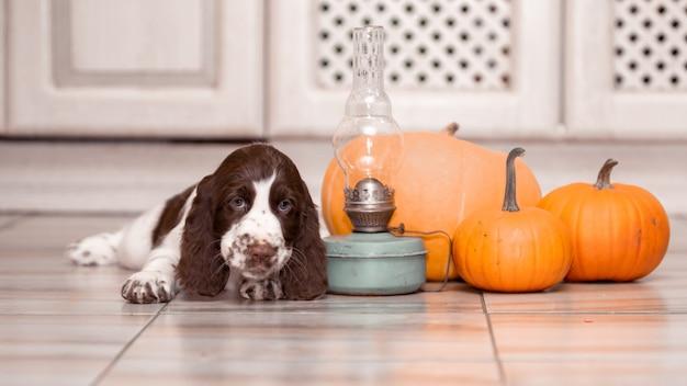 Un cucciolo di springer spaniel si siede da un mucchio di zucche. Foto Premium