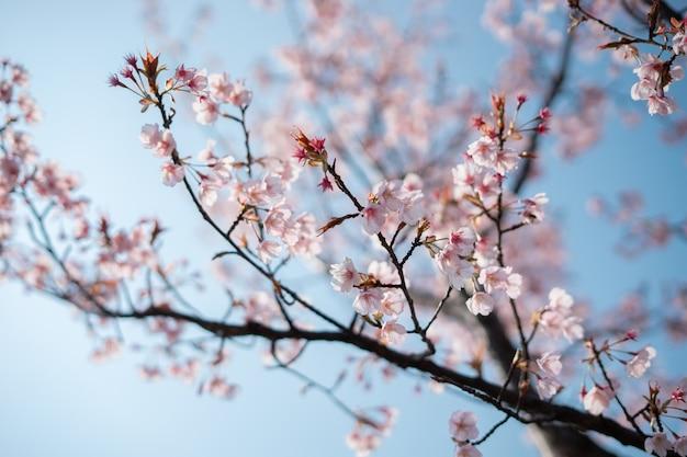 Un fiore di ciliegio o un albero di sakura è così carino Foto Premium