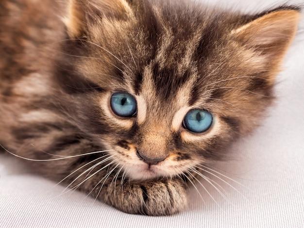 Un gattino a strisce con gli occhi azzurri depone e guarda il proprietario. Foto Premium