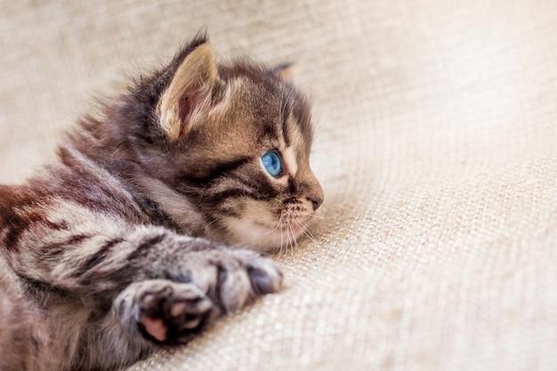 Un gattino marrone a strisce con gli occhi azzurri sta riposando e guarda avanti con attenzione Foto Premium