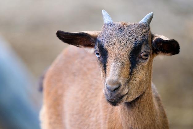 Un giovane maschio di capra Foto Premium
