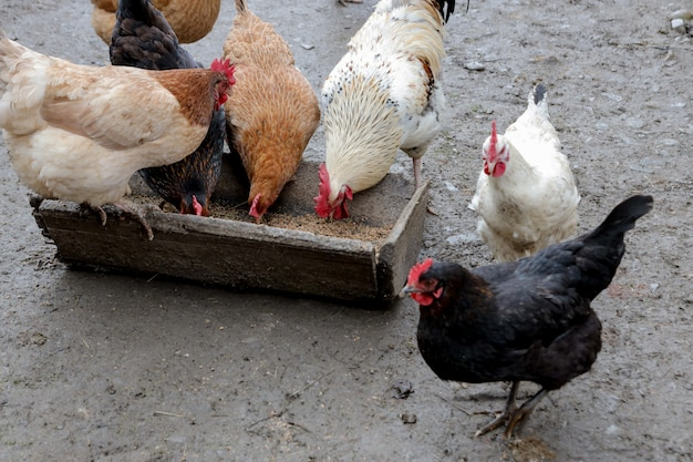 Un gruppo di polli ruspanti che mangiano fuori in una fattoria. Foto Premium