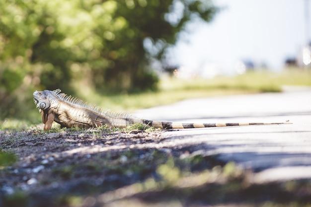 Un'iguana a terra Foto Gratuite