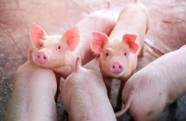 Un piccolo maialino nella fattoria. gruppo di mangimi in attesa di mammifero Foto Premium