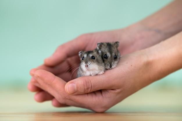 Un primo piano di due piccoli criceti jungar miniatura divertenti che si siedono sulle mani di una donna. ratti dzhungar soffici e carini a casa. Foto Premium