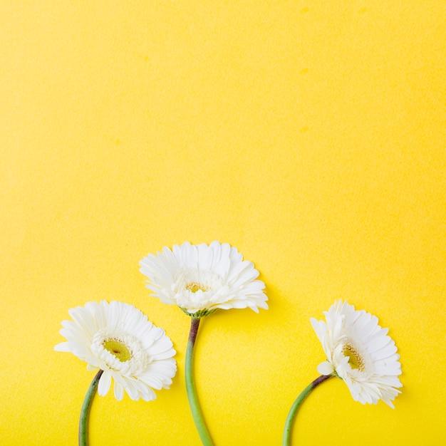 Un primo piano di tre fiori bianchi del gerbera su priorità bassa gialla Foto Gratuite