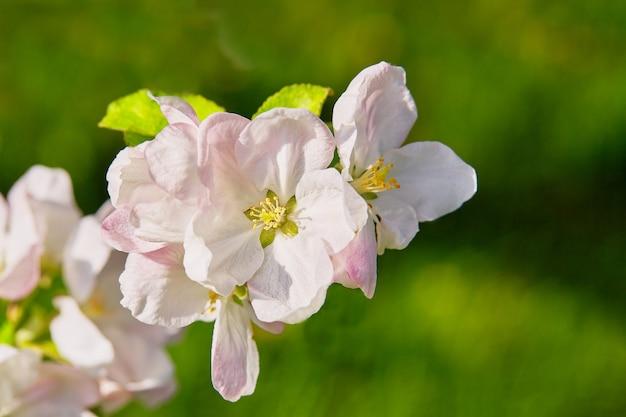 Un ramo di melo in fiore. ora del tramonto, primavera. messa a fuoco selettiva Foto Premium