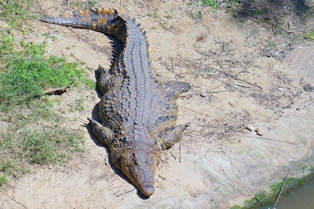 Un ritratto di coccodrillo. coccodrillo d'acqua dolce della fattoria. Foto Premium