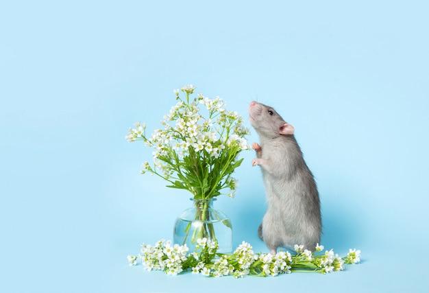 Un simpatico ratto è in piedi sulle zampe posteriori accanto a delicati fiori di campo su una parete blu. Foto Premium