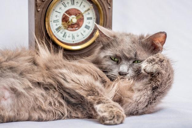 Un soffice gatto pigro giace vicino all'orologio. è ora di alzarsi e andare al lavoro Foto Premium