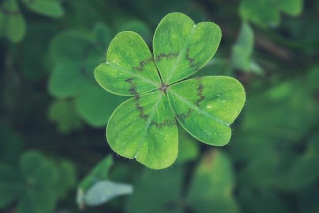 Un trifoglio di quattro foglie con le strisce nere sul fondo verde dei trifogli Foto Premium