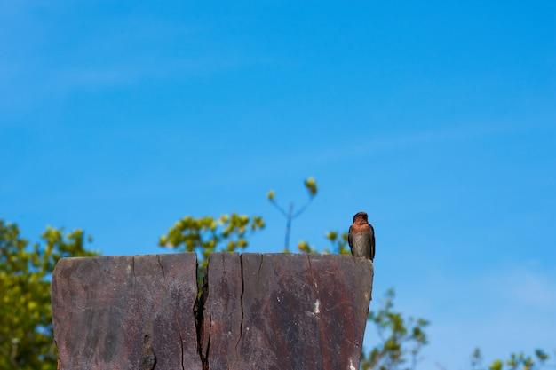 Un uccello del sorso su cielo blu. Foto Premium