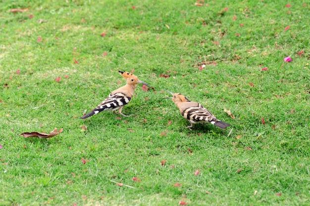 Un uccello di due upupa che si siede sul primo piano dell'erba verde Foto Premium