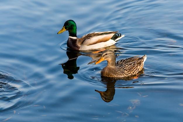 Una coppia di anatre e drake nuota e nuota nello stagno Foto Premium