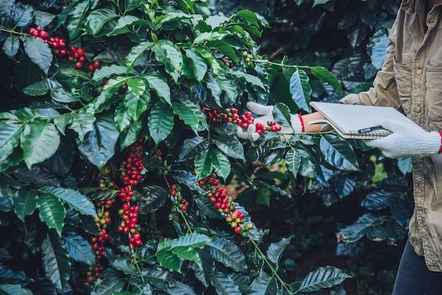 Una donna in mano con in mano un quaderno e in piedi vicino alla pianta del caffè, imparando a conoscere il caffè Foto Premium