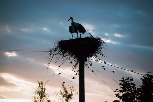 Una famiglia di cicogne nel loro nido, seduto in alto su un palo al tramonto la sera. Foto Premium