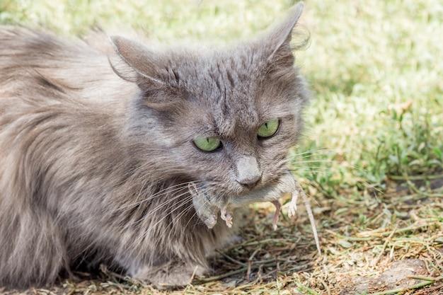 Una figa grigia ha catturato un topo, il gatto tiene un topo in bocca Foto Premium