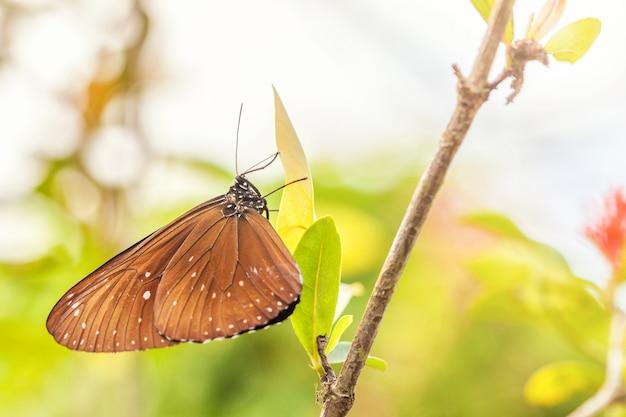 Una fragile farfalla marrone euploea si siede su una foglia verde Foto Premium