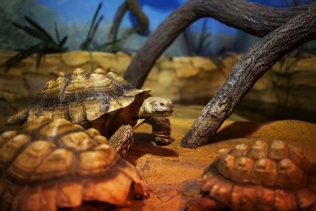 Una grande tartaruga di palude si trova nel terrario Foto Premium