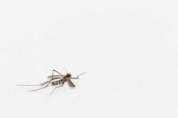 Una Morte Di Zanzare Su Sfondo Bianco Con Spazio Di Copia