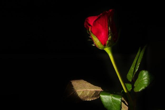 Una Rosa Rossa Isolato Su Sfondo Nero Scaricare Foto Premium