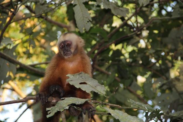 Una scimmia rossa su un'isola all'interno del fiume madre de dios, puerto maldonado. perù Foto Premium