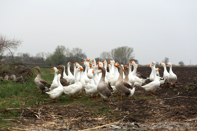 Uno stormo di oche bianche cammina in primavera nel villaggio nel prato con erba verde fresca e terra arata Foto Premium