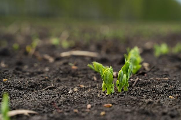 Uscita del germoglio del seme di ravizzone dalla macro del suolo, nuova vita Foto Premium