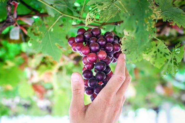 Uva rossa matura in mano degli agricoltori in vigna Foto Premium