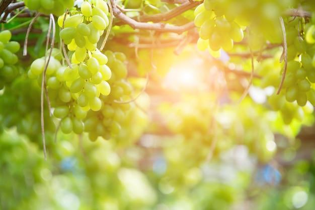 Uva verde che appende su un cespuglio, damnoen saduk, provincia di ratchaburi. tailandia Foto Premium