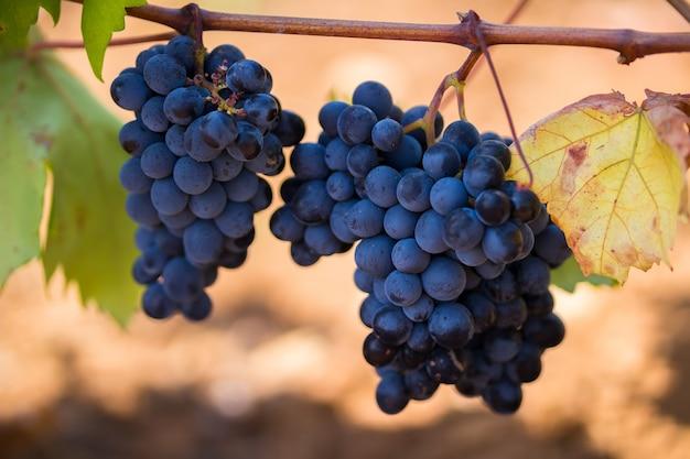 Uva viola matura con foglie Foto Premium