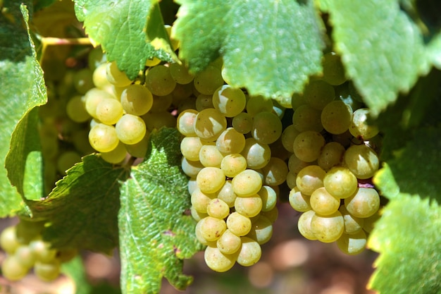 Uve chardonnay per il vino bianco che crescono in un vigneto nella regione della borgogna di francia Foto Gratuite