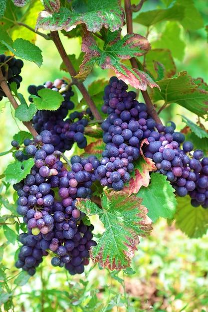 Uve da vino rosso che crescono in un vigneto nella regione della borgogna di francia Foto Gratuite