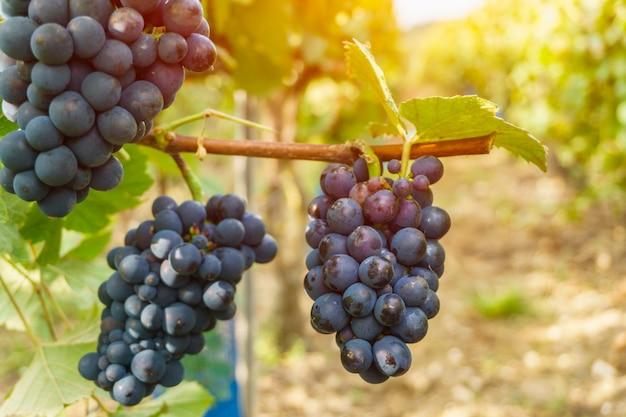 Uve della vite nella regione del champagne nella raccolta di autunno, francia Foto Premium
