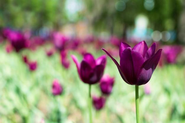 Varietà di tulipani viola Foto Premium