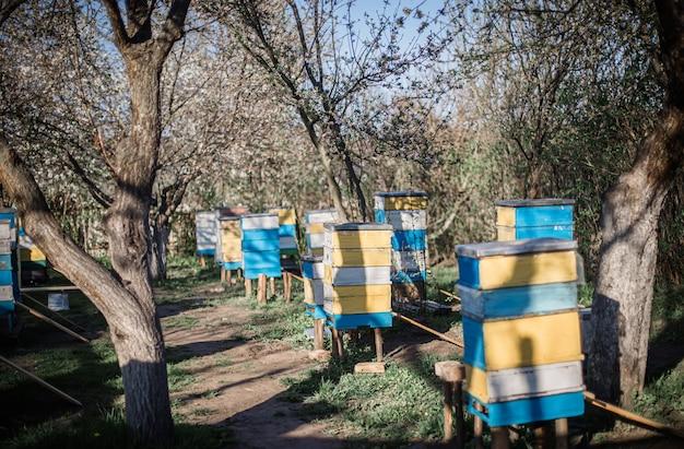 Vecchi alveari multicolori sull'apiario. ciliegia in fiore con polline per lo sviluppo delle api in aprile. primule vicino orticaria con api di rame. apicoltura Foto Premium