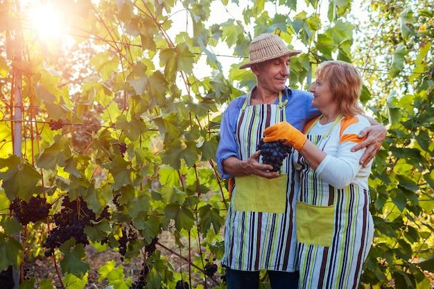 Vendemmia. coppia di agricoltori raccoglie il raccolto di uva in fattoria. uomo senior felice e donna che controllano l'uva Foto Premium