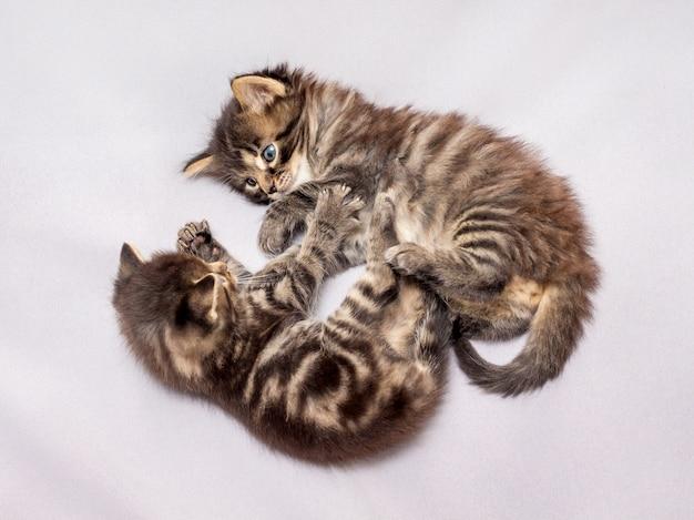 Vengono riprodotti due piccoli gattini a strisce. giochi divertenti e divertenti Foto Premium