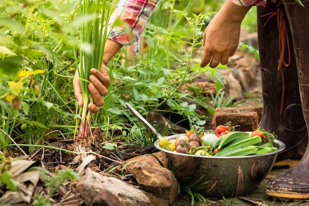 Verdure di raccolta femminili organiche all'azienda agricola, verdure raccolte di stagione, agricoltura biologica per lo stile di vita sano Foto Premium