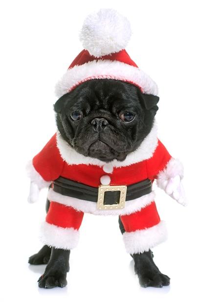 Vestito cucciolo nero pug Foto Premium