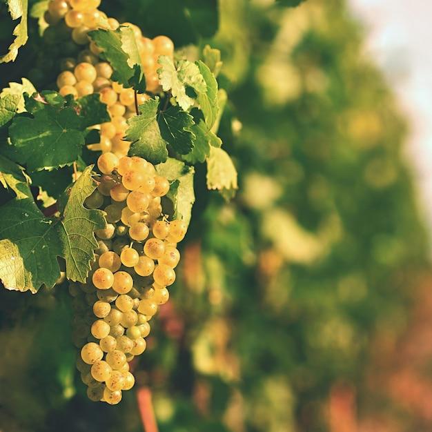 Vigne al tramonto in autunno raccolto. uva matura. regione dei vini, moravia meridionale - repubblica ceca. v Foto Gratuite